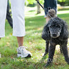 Laddie, a poodle, stands near his owner,  Janet Davis, at the Blessing of the Animals gathering at 4 P.M. on Sunday, August 21, 2016, at Miller Park. Pet owners from around the grounds gathered for Chaplain Lisa Marchal of the Methodist House to bless their pets, some of whom were represented by photos on phones or in picture frames. Photo by Carolyn Brown.