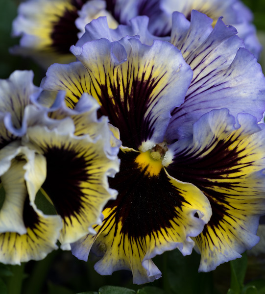 "Spring 8. To be used with the poem : ""Intoxicating / scent in these flowers. I fold / myself into them."" Though pansies are not really scented, the folds of these flowers seems suggestive nonetheless."