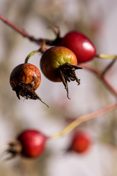 As requested, rose hip photos, 3 of them. Choose what you like, if any.