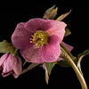 Or, Winter 6. I know Carolyn prefers the first Hellebore, the purple one, but I offer this in case I can't fix the messed up background in that one.