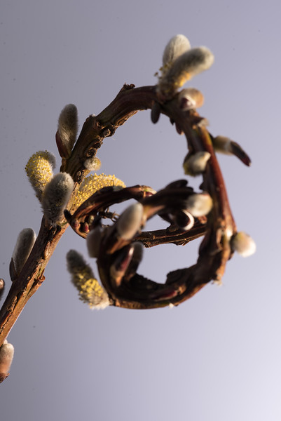 Fan-tail Pussy Willow-new version as requested