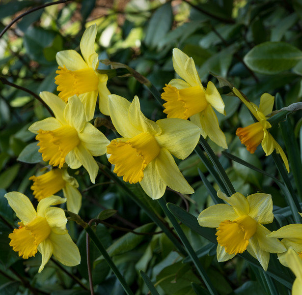 """Spring 6. To go with the """"Furry bumblebee"""" poem which ends with daffodils."""