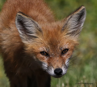 Red Fox - Sand On Nose