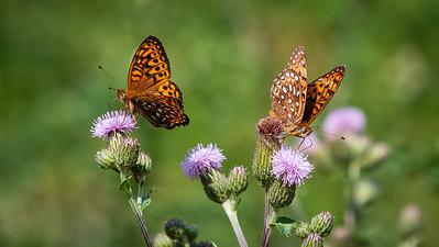 Papillons dans la rivière Observation.