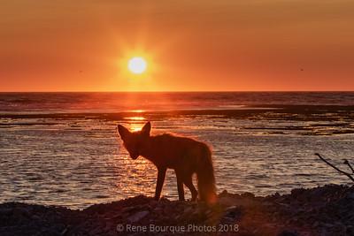 Silhouette de renard au coucher de soleil
