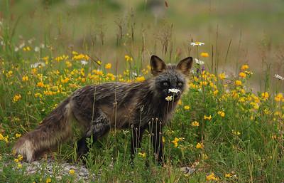 renard-fleurs-anticosti