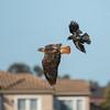 Crow vs Red Tail Hawk
