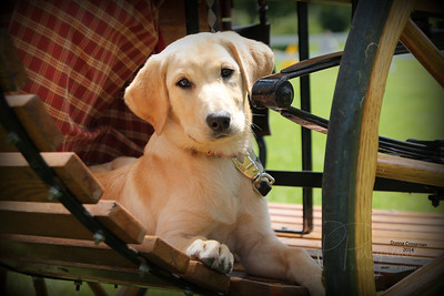Lila puppy