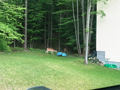 Deer examine kayaks in back yard