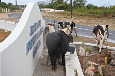 """Roaming Cows""- Grand Turk, Turks & Caicos"
