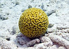 Brain coral, Bonaire, May 2013
