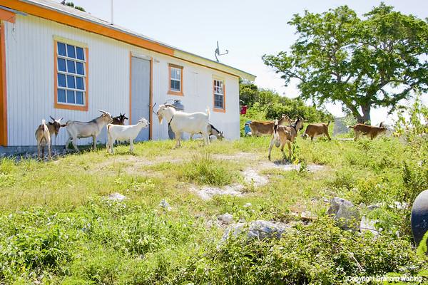 Goats roaming on Cat Island, Bahama