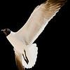 Graham-20080511-seagull
