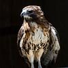 Hawk Grand Bahama