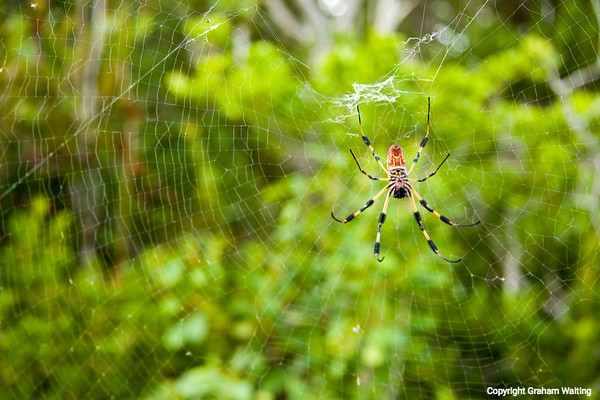 Spider in bushes on Cat Island, Bahama