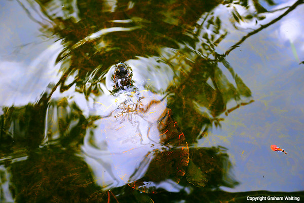 Turtle at Garden of the Groves, Grand Bahama