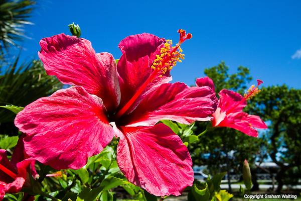 Flower Grand Bahama