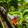 Lizard, Grand Bahama Grand Bahama