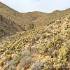 Treacherous Cholla Everywhere