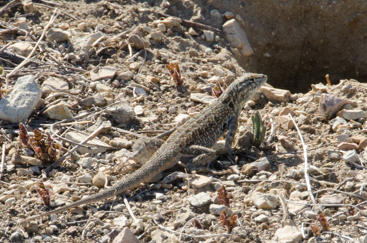 Blunt nose leopard Lizard, Carrizo Plains NM