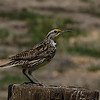 Western Meadowlark, Carrizo Plains