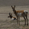 Pronghorn antelope, Carrizo Plains