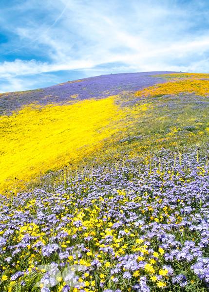 Wildflowers of the Temblor Range