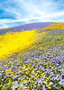Wildflowers of the Temblor Range