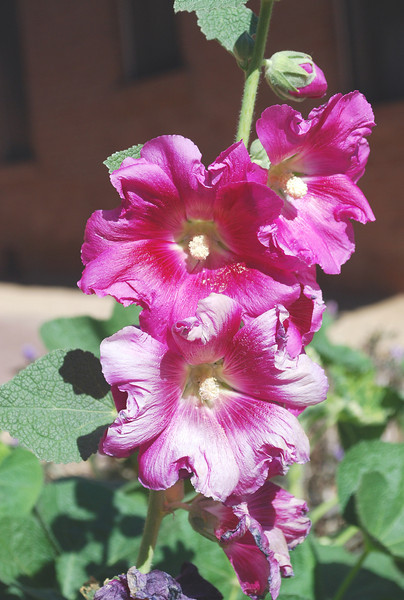 2012-02-04 Hollyhocks