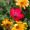 2013-03-02 red flower