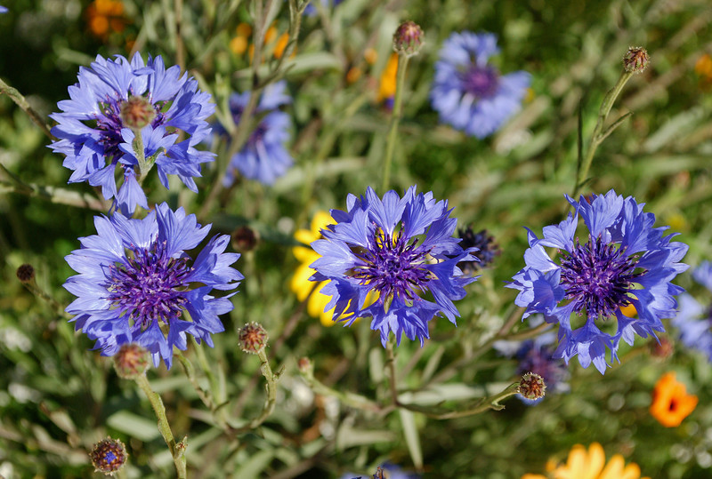 2013-03-02 blue flowers