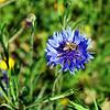 2013-03-02 blue flower w bee