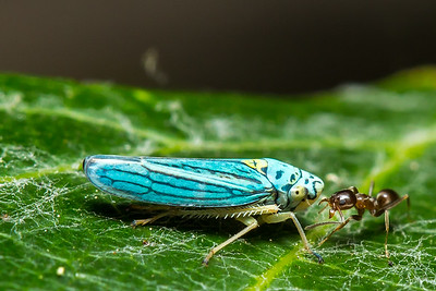 Argentine ant and Leafhopper