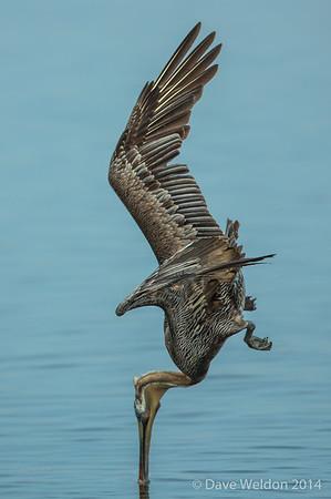 Pelican diving for breakfast