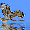 Red-tailed Hawk in a Flood. Thanks to Rick Willis for inspiration.