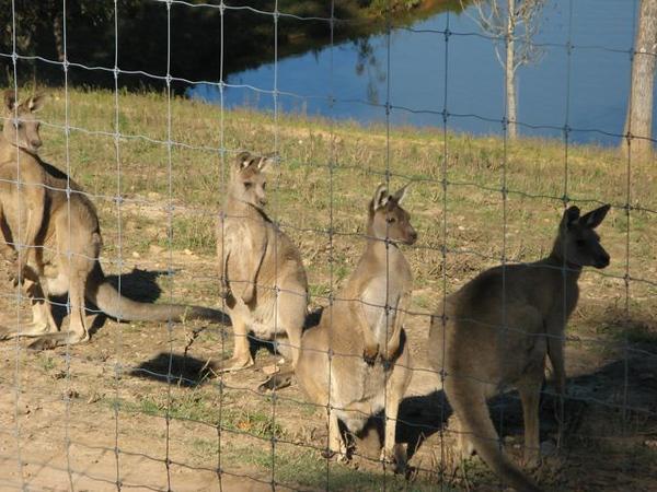 Kangaroos and Dawsonville - 18