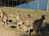 Kangaroos and Dawsonville - 18