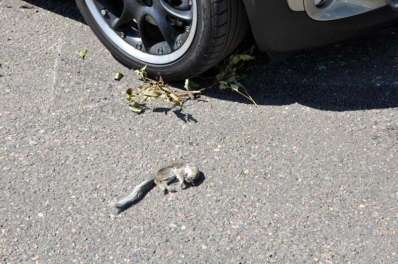 MTTS Day 3. This dead squirrel was found inside the Clubman engine compartment.
