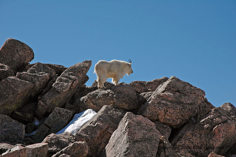 A Mountain Goat near the parking lot.