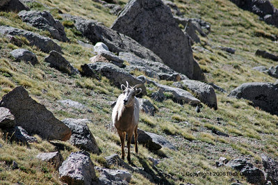 A young and curious Rocky Mountain Bighorn Sheep.