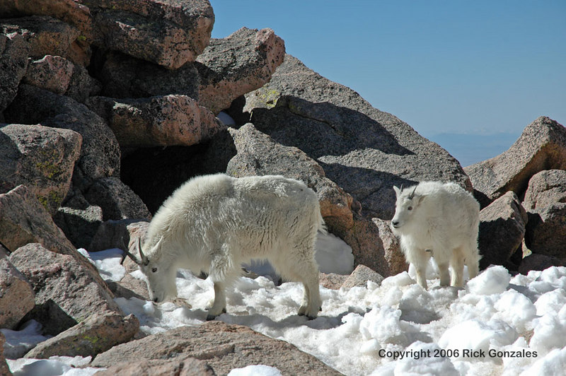 A couple of young Mountain Goats find a little salt used to melt the ice from the pedestrian walks near the restroom facilities.