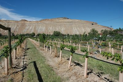 One of many vineyards in the Palisade and Grand Junction area.