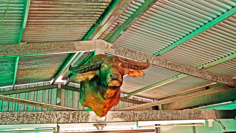 In the shed I constructed on our 54 acres, I am hoisting the Buffalo head up for right full display. (We started and ran Buffalo Bolt Co in Emerald, Queensland for around 25 years) Buffalo guy was positioned in our bolt shop so he looked down on our customers at the counters. Customers liked him. Kids loved him 'cept some little ones who got worried.