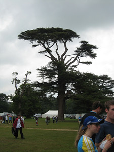 Gorgeous old tree in the grounds of Goodwood House.