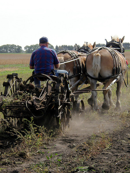 Old Fashioned Potato Harvest<br /> This photo was taken at the Northern Minnesota Draft Horse Association Field Days in 2009?