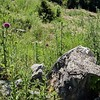 Pasture Thistle (Cirsium pumilum)