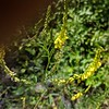 Yellow Sweet-clover (Melilotus officinalis)