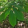 Pawpaw (Asimina triloba)