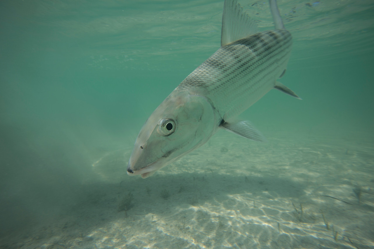 On assignment for Yellow Dog Flyfishing Adventures. Cayo Largo, Cayo Cruz, and Havana, Cuba.<br /> <br /> January 2016. Cayo Cruz, Cuba, with Avalon Fly Fishing Centers.