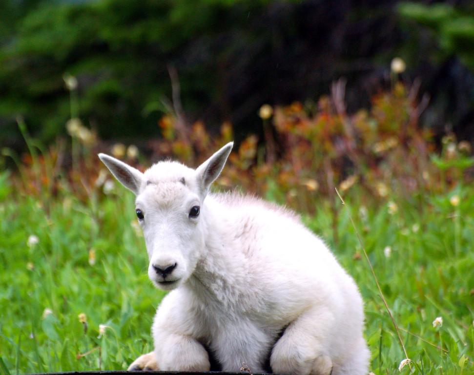Mountain Goat Kid near Logan Pass, Glacier National Park